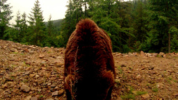 brown bear chews front of the camera on a dirt mound in a forest under a slight  Footage