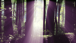 4 K Sun Shines through Leaves in Mysterious Deep Forest 7 Footage