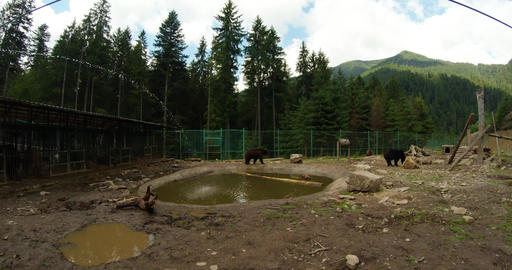 brown bears walk on metal fence enclosed area, the pool water flows overall plan Footage