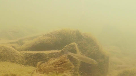Fry freshwater fish in the rapid mountain river Footage