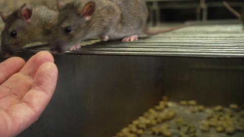 Curious Gray Rats Footage
