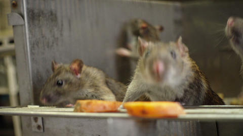 Curious Gray Rats Live Action