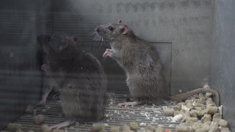 Two Gray Rats Fighting Live Action