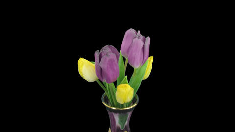 Time-lapse of opening purple-yellow tulips bouquet, 4K with ALPHA channel Footage