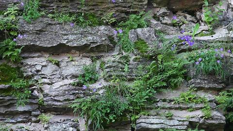 on stones grow flowers cornflowers Footage
