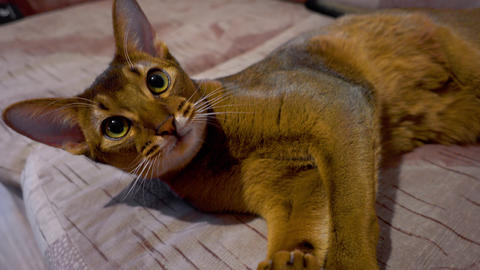 Abyssinian cat washes Live Action