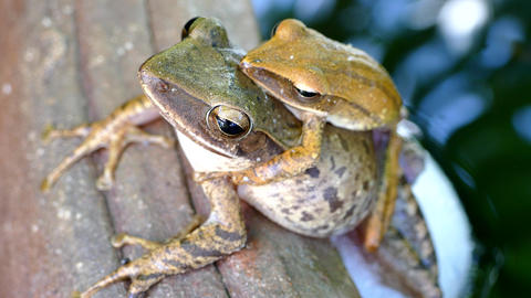 Yellow tree frog breeding and spawn Footage