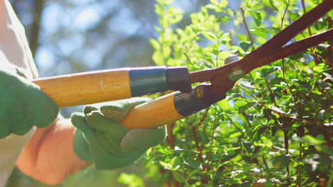 A gardener trimming hedge with a pair of gardening shears Live Action