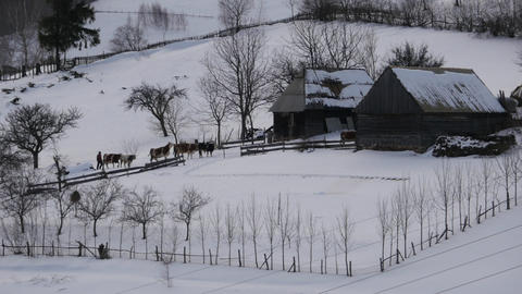 Herd of cows in the barn go after they drink water from the spring in winter 89 Footage