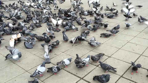 Flock of Pigeons Feeding at Square Live Action