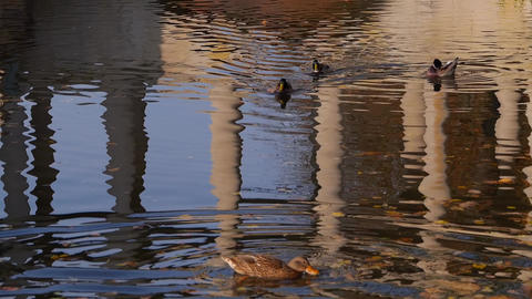 Duck on the water in park Footage