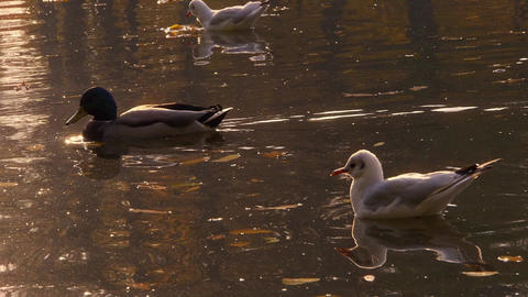 Gulls and ducks on water in the park Footage