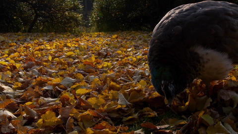 Peacock Looking For Food Under The Leaves stock footage