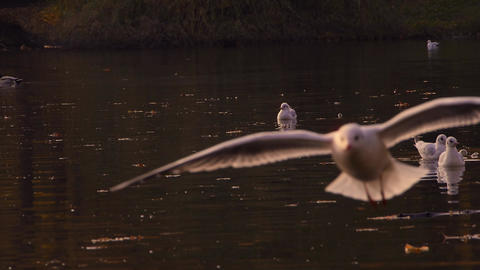 Gulls rising to fly out of the water Footage