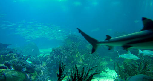 Fullscreen Sandbar Shark - Carcharhinus Plumbeus Live Action