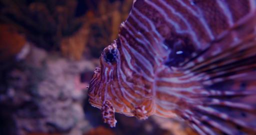 Red Lionfish Closeup - Pterois Volitans Footage