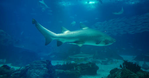 Amazing, Huge Sandtiger Shark - Carcharias Taurus, surrounded by lots of differe Live Action