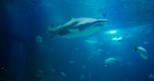 Amazing, Huge Sandtiger Shark - Carcharias Taurus, surrounded by lots of differe Footage