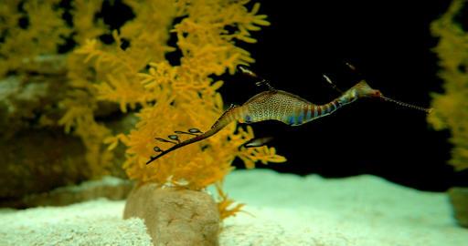 Common Seadragon - Phyllopteryx Taeniolatus Footage