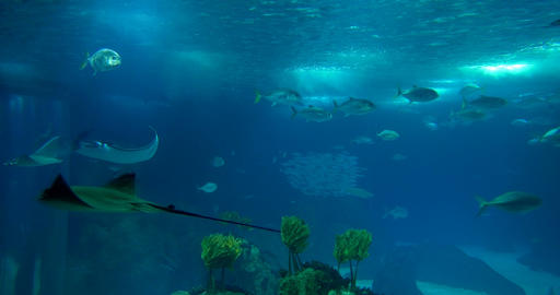 Lots Of Different Rays In A Huge Aquarium Footage