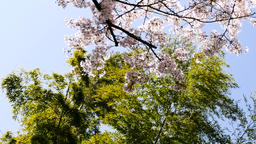 Titling up from bamboo tree to cherry blossoms in sunshine Image