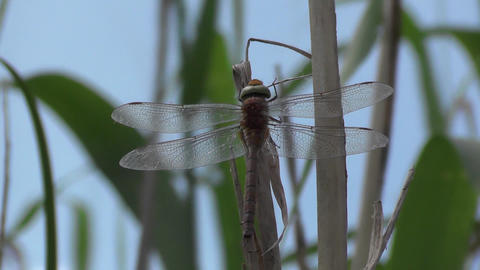 Dragonfly Black-tailed skimmer, Orthetrum cancellatum female. Insect sitting on  Footage