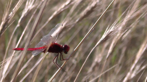 Red dragonfly Scarlet Darter Crocothemis erythraea hunting. Insect catching prey Footage