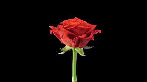 Time-lapse of opening El Toro rose in RGB + ALPHA matte format Footage