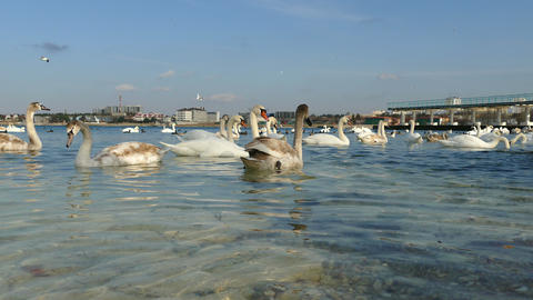Flock of Swans Footage