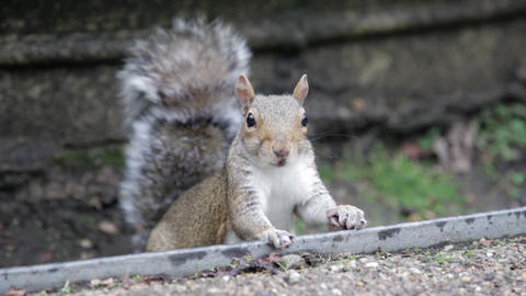 A gray squirrel is looking into the camera and chewing Live Action