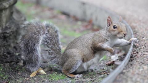 A grey squirrel looking at the camera, then turning away Stock Video Footage