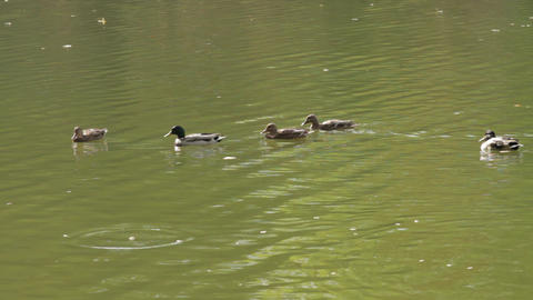 Ducks on the river Footage