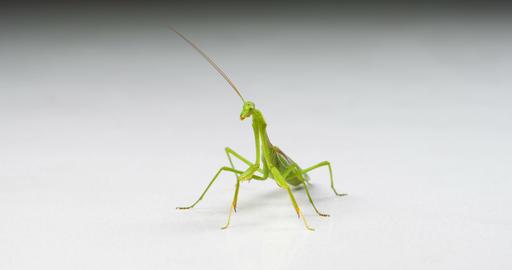 Macro Praying Mantis On White Footage