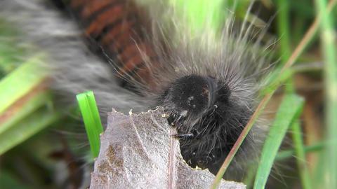 Caterpillar of Macrothylacia rubi Fox moth eats willow leaf. Larva Lepidopteran  Footage