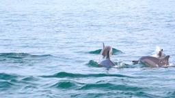 Dolphins swim past camera showing smooth backs above sea. Sri Lanka Footage