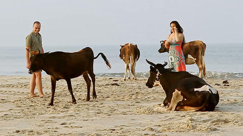 Guy Girl Walk among Holy Cows on Sand Beach by Ocean Surf Footage