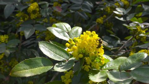 In the public gardens of Krasnodar blooming ornamental shrubs. Russia Footage