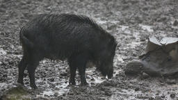 Family of wild pigs in the rain Footage