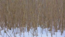 Blue tit birds in reed Footage