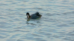 Eurasian coot diving for food Footage