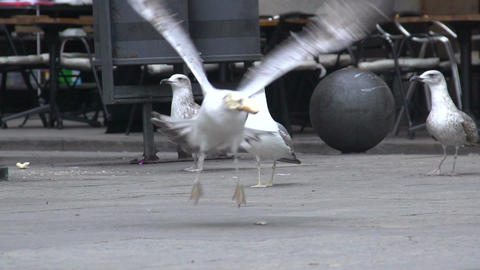 Urban seagull stealing a piece of bread on the street, wild birds in the city Footage
