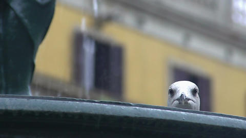 Beautiful seagull bird drinking from fountain, birdwatching in city, wildlife Footage