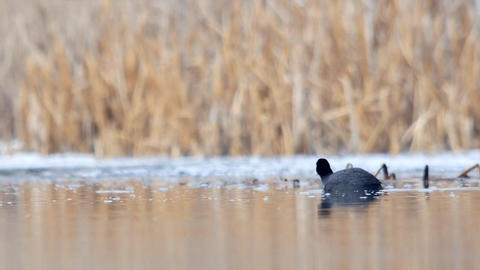 Coot (Fulica atra) looking for food on a lake whose shores are frozen due to win Footage