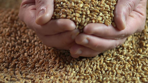 Male hands holding wheat grain, agriculture business, eco food, product quality Footage