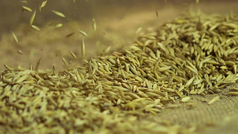 Woman taking handful of oat seeds on the market, agriculture, organic food Footage