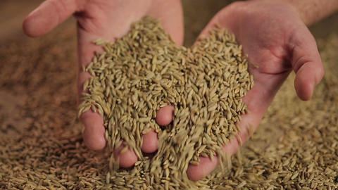 Male hands touching rye grain, male farmer enjoying hard work result, harvest Live Action