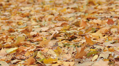 Ground covered with dead yellow maple leaves, autumn sadness, natural beauty Footage