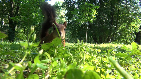 Squirrel Hiding in the Grass Footage