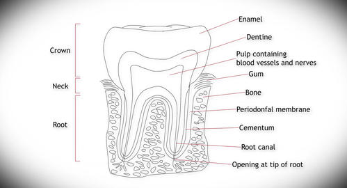 4K Human Tooth Structure 01 Animation