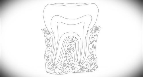 4K Human Tooth Structure 03 Animation